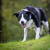 Zac is glad to be back from the kennels (grahamrobb888) Tags: zac dog pet nikon nikond800 nikkor nikkor85mmf18 garden tighnabeithe birnam perthshire sunnymorning green grass