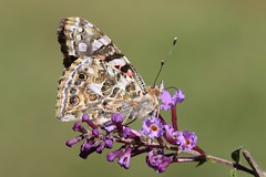 Painted Lady Butterfly (Vanessa cardui) (Steve Byland) Tags: painted lady butterfly vanessa cardui canon 7d markii 180mm