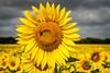 ob2015-7779.jpg (KeithCrabtree1) Tags: sunflowers redoak sunrise park oldbisonranch clouds