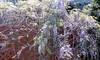 Wisteria A 4-17 1 (THE Holy Hand Grenade!) Tags: flower wisteria albanyca nikonf3 nikkor135mmƒ28ais kodak portra400