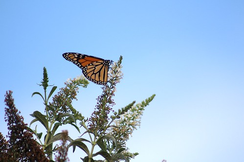 Monarch Butterfly, From FlickrPhotos