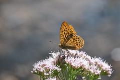 DSC_8875 (bromand) Tags: herrenchiemsee chiemsee chiemgau bayern deutschland germany outdoor nikon d90 nikond90 105mmf28 sigma105mmmf28 geotagger solmeta solmetan1 geotaggersolmetan1 butterfly schmetterling