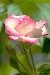 """Rosa Carousel (""""en su planta"""" versión) (moligardf) Tags: rosas carousel bicolor jardín arriate conil luz natural cultivada tamron 70300mm"""