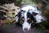 IMG_4451 (marine.benchao) Tags: dog berger australien wood leeroy sheperd bleu merle