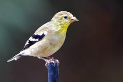 American Goldfinch (Life of David) Tags: americangoldfinch california camarillo canon5dmarkiv spinustristis usa wildlife backyard beautiful beauty bird colorful nature world100f
