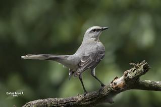 Sinsonte común- Mimus Gilvus- TROPICAL MOCKINGBIRD