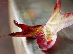 Autumn Colours Inspiration ... (MargoLuc) Tags: fall leaf red yellow droplets bokeh bench wooden natural light golden season
