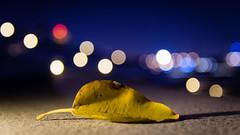 Fallen Leaf! (Mohammed Qamheya) Tags: 7dwf flora friday nikon sigma d500 night bokeh doha qatar katara fallenleaf fallen leaf theculturalvillage light longexposure