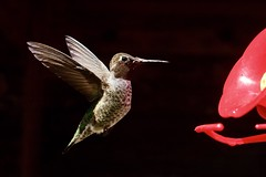 Hummingbird In Flight ((Jessica)) Tags: detail closeup rx100 pointandshoot losangeles feathers remoteapp feeder hummingbird sonyrx100 wildlife wildlifewednesday nature california topangacanyon playmemoriesmobile sony bird