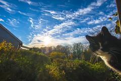 Nosan (RdeUppsala) Tags: katt gata cat uppsala cielo clouds city ciudad sverige suecia sweden sky cirrus naturaleza nature natur nubes moln himmel animal trädgården jardín garden höst otoño autumn outdoor sunny soleado