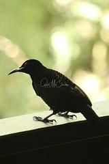 Victoria's Riflebird (Caleb McElrea) Tags: victoriasriflebird riflebird birdofparadise chamberswildlifelodges athertontableland farnorthqueensland craterlakesnationalpark wettropicsofqueensland unesco worldheritagearea queensland australia