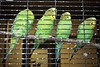 Parakeets (tim.perdue) Tags: wilds nature preserve conservation center cumberland ohio olympus omd em10ii tamron 14150mm animal bird avian parakeet budgerigar budgie four feathers plumage green yellow cage
