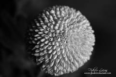 Macro (Federico Luciani - www.federicoluciani.com) Tags: macro flower fiore blackandwhite