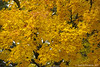 Oh Those Maples (jimgspokane) Tags: autumn fall mapletrees trees spokanewashingtonstate naturewatcher otw