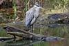 _DSC0653A (Bill Vrtar Photo) Tags: heron blueheron bird wildlife millcreekpark lilypond boardman ohio vrtarsmugmugcom