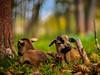 Hey you little goat kids... (davYd&s4rah) Tags: goat ziege kind kid bokeh forest chill green brown dof autumn fall sweet em10markii m75mm f18 olympusm75mmf18 olympus beautiful regensburg