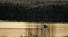 Heron in the morning light. (pstone646) Tags: heron nature lake morning sunrise bird wildlife water reflections stodmarsh kent animal fauna landscape