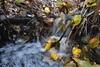 Adam's Apple (Insearchoflight) Tags: detritus stream water naturepics outdoorstuff newfoundlandandlabradro newfoundlandandlabrador sweetlight falllight insearchoflight adamsapple waynenorman lightonwater