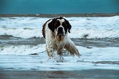 galli cadzand11 (cdandrifosse) Tags: galli saint bernard mer cadzand chien