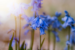 Bluebells (Rob Reaburn Photography) Tags: bluebells pastel pastelcolors flowers blue garden outdoors dof shallowdepthoffield nikon d750 nikkor85mmf14g pastelcolours flare