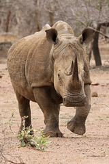 2016 10 14_White Rhino-1.jpg (Jonnersace) Tags: whiterhinoceros ceratotheriumsimum endangered threatened horn mammal krugernationalpark safari save
