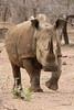 2016 10 14_White Rhino-1.jpg (Jonnersace) Tags: whiterhinoceros ceratotheriumsimum endangered threatened horn mammal krugernationalpark safari save