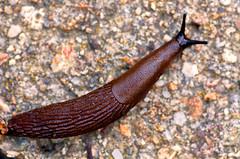 Snail (ErrorByPixel) Tags: snail nature smcpentaxdfamacro100mmf28wr smc pentaxd fa macro 100mm 10028 pentax pentaxk5 k5 errorbypixel handheld pulmonata stylommatophora arionidae