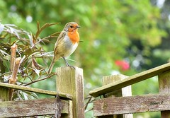 Nearly a Grown Up!  HFF (Eleanor (No multiple invites please)) Tags: robin fence fencepost bokeh garden stanmore uk nikond7200 september2017
