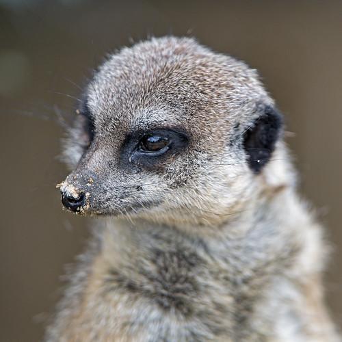Meerkat quite close