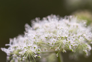 Umbel Flowers