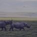 Male rhino stalks female past egret. Ngorongoro