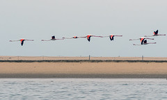 Flamingos (Guy Goetzinger) Tags: tiere vögel birds flamingo animal nikon goetzinger flying flight water sky seaside coast nature beach d500 formation vol oiseaux namibia lowlevel 2018 живо́тное 动物 動物 dòngwù bete