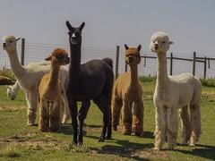 The Jets (piranhabros) Tags: fauna animal gang madras eclipse oregon alpacas