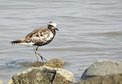 Tarambola-cinzenta / Black-bellied plover (Pluvialis squatarola) (Marina CRibeiro) Tags:
