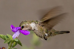 Ruby-throated hummingbird #1 (Archilochus colubris) (famasonjr) Tags: canonefs55250mmf456is canoneos7d wildlife nature hummingbird rubythroated female plant flower hovering bokeh
