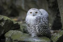 Nyctea scandiaca   Schneeeule   Snowy owl (*Photofreaks*) Tags: zoom gelsenkirchen adengs wwwphotofreakseu nycteascandiaca schneeeule snowyowl