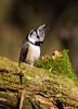 Crested tit (Lt_Dan) Tags: canon600d canon55250mmf456isii nature natureshot bird crestedtit cansiglio belluno veneto italia italy