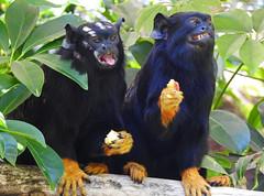 Saguim-de-mãos-douradas / Golden-handed tamarin (Saguinus midas) (Marina CRibeiro) Tags: portugal lisboa lisbon zoo primatas primates tamarin saguim goldenhandedtamarin saguimdemãosdouradas