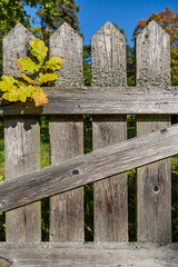 Autumn Oak Tree Leaves On Ancient Fence. (AudioClassic) Tags: oak autumn leaves yellow sunlight texture wooden tree old fence wood wall rough vintage background aged retro panel plank pattern nature material natural textured grunge privacy hardwood timber surface barrier antique weathered lumber element wallpaper abstract cracked ancient color damaged village outdoor decorative scratch obsolete moss