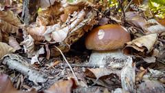 Boletus edulis (giansacca) Tags: funghi fungo fungi fungus pilz seta hongo champignons mushrooms mushroom ciuperci cep bolet porcino boletusedulis
