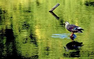 Duck, reflections, Arashiyama