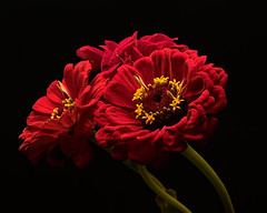 Red Zinnias Two 0921 (Tjerger) Tags: nature beautiful beauty black blackbackground bloom blooming blooms closeup fall flora floral flower flowers green macro plant portrait red wisconsin yellow zinnia zinnias natural