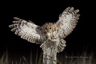 Tawny Owl swoop