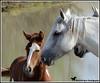 A MOTHER'S LOVE (Aspenbreeze) Tags: wildhorsess horses mares filly colt coloradowildlife wildlife horse equine sandwasbasinwildhorserange nature bevzuerlein aspenbreeze moonandbackphotography