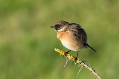 Stonechat All Fluffed Up (Barbara Evans 7) Tags: stonechat all fluffed up lepe hants uk barbara evans7