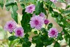 Hardy Mums (lovesdahlias 1) Tags: chrysanthemums flowers blossoms gardens nature fall newengland