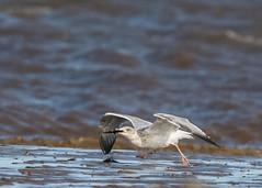 Herring Gull ( Larus Argentatus ) (Dale Ayres) Tags: herring gull larus argentatus bird nature wildlife