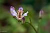 Tricyrtis formosana (Yorkey&Rin) Tags: 10月 2017 autumn em5 flower inmygarden japan kanagawa macro october olympus olympusm60mmf28macro rin tricyrtisformosana ua277316 タイワンホトトギス マクロ 秋 庭