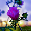 purple flower (Berta Niemeyer) Tags: purple flower blüte wiese grass neon bunt artificially green