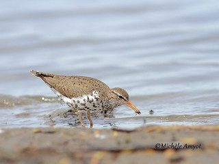 Chevalier grivelé / Spotted sandpiper
